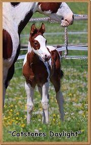 Paint Horse Hengst- Absetzer super
