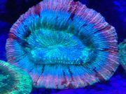 Trachyphyllias und Muschel Meerwasser Aquarium