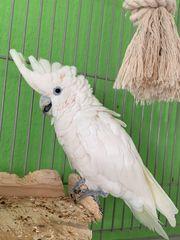 Zahmer Salomon Kakadu abzugeben Papagei
