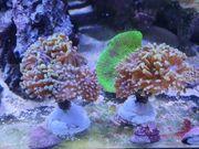 Aquarium Meerwasser Ableger SPS LPS