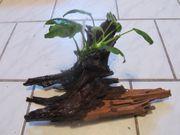 Verkaufe bepflanzte Wurzel