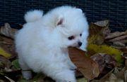 Pomeranian Zwergspitz Boo Teddy Welpen