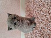 BKH Kitten blue