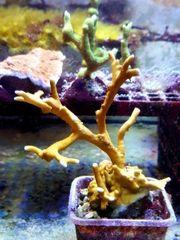 Meerwasser Feuerkoralle selten