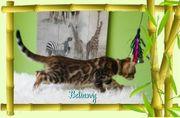 Exclusive Bengal Kitten Kater mit