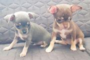 Chihuahua Welpen reinrassig kurzhaar