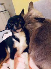 Chihuahua XXS 1 6 kg