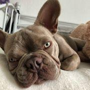 DECKRÜDE-Französische Bulldogge
