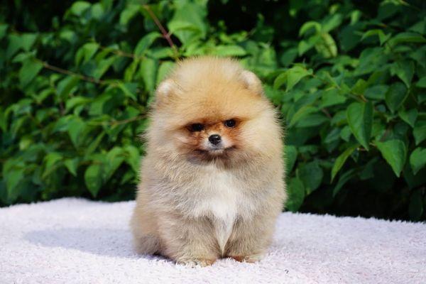 Mini Pomeranian Zwergspitz Boo mit