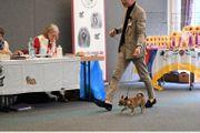 Deckrüde Kurzhaar Chihuahua Zuchtzulassung VDH