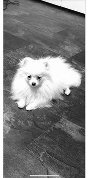 Pomeranian Zwergspitz Mini