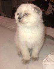Scottish fold kitten und Bkh
