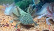 Süßer Axolotl BD frei