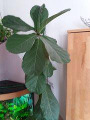 Grünpflanze Ficus Iyrata H 2