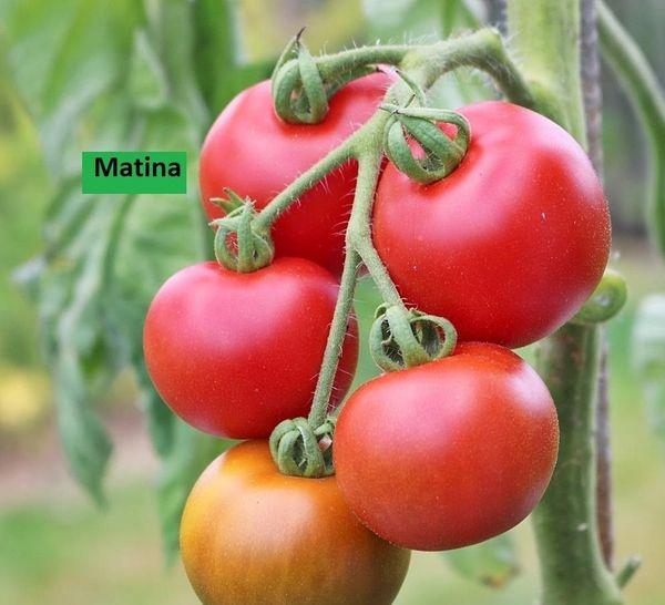 Set3 Tomate Matina Inhalt 15