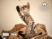 F5 SBT Savannah Kitten