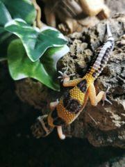 0 3 Leopardgeckos
