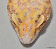 Leopardgecko Weibchen RADAR ID Franny