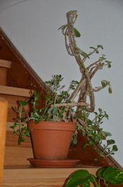 Elefantenfuss Oleander und Drachenbaum abzugeben