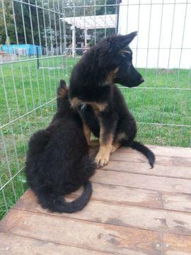 Hunde - Wunderschöne Welpen für anspruchsvolle Liebhaber