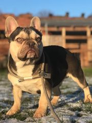 französische Bulldogge Zuchtrüden mit ZTP