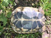 Landschildkröte THB