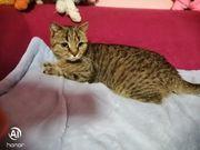 verkaufe liebe verschmußte BKH Katze