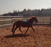 Wunderschöne Pony Stute in allerbeste