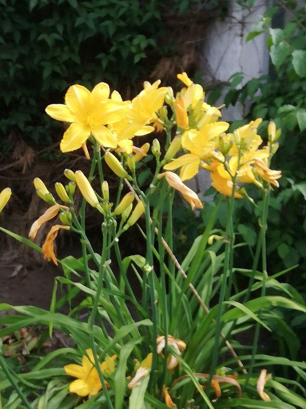 Riesiger Stock Taglilien in einem