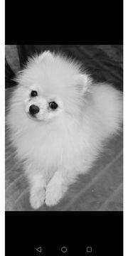 Pomeranian spitz Mädchen und ein