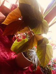 Begonia Corallina Größe Zimmerpflanze Rarität