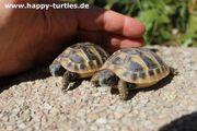 Griechische Landschildkröte Testudo hermanni boettgerie