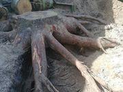 Brennholz coleradotanne
