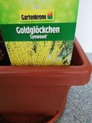 Goldglöckchen Pflanze ca 120cm hoch