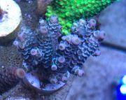Koralle Meerwasser Acropora Tenuis XXL