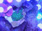 Meerwasser Korallen Zoanthus Krustenanemonen- Grün