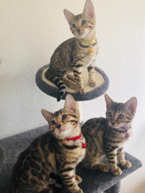 Tolle Bengalen Kitten zwei Katzen