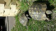Süße Griechische Landschildkrötenbabys 1große