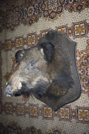 Wildschweinkopf - Keiler - Bache - Paarhufer