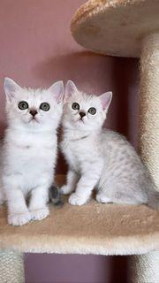 BKH-Kitten Katerchen