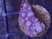 Goniopora sp verschiedene Farben
