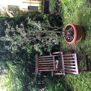 Olivenbaum vom Gardasee mit schön
