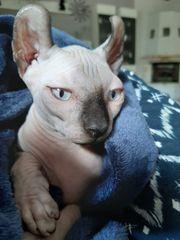 Sphinx-Elf Baby Katze