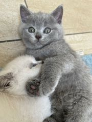 4 wunderschöne BKH Kätzchen suchen