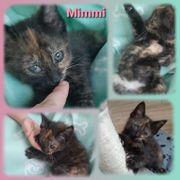 2 wunderschöne Kitten Schildpatt Getigert