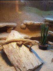 Rollschwanz Leguan Weibchen mit terrarium