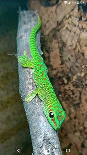 Phelsuma grandis - Madagaskar Taggeckos