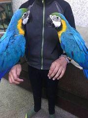 Ara Papagei bereit für ein