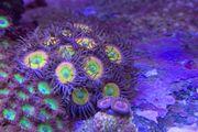 Zoanthus Krusten Korallen Update 17