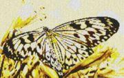 Vorlage für Ministeck Butterfly2 80x60cm
